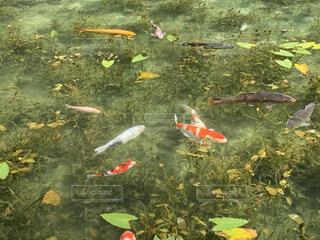 モネの池(名もなき池)2の写真・画像素材[3810550]