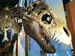 ティラノサウルスの化石、頭蓋骨を強調させての写真・画像素材[3978779]