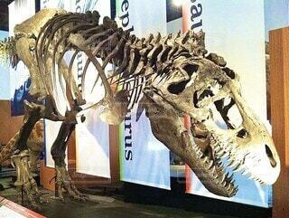 ティラノサウルスの化石、尻尾が切れてますの写真・画像素材[3978780]