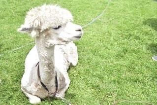 草原でひなたぼっこをするアルパカの写真・画像素材[3824123]