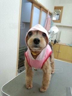 洋服を着た犬の写真・画像素材[3919950]