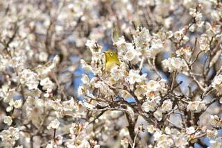 梅の木に止まる鳥メジロの写真・画像素材[4186391]
