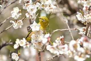 梅の木に止まる鳥メジロの写真・画像素材[4186389]