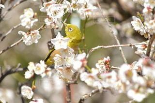 梅の木に止まる鳥メジロの写真・画像素材[4186392]