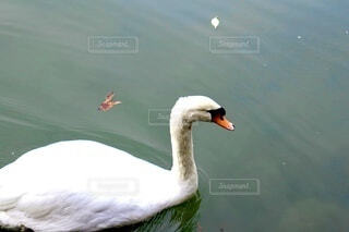 水の体で泳ぐ白鳥の写真・画像素材[3891188]