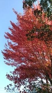 ハナノキの紅葉の写真・画像素材[3922273]