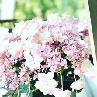 ピンクのかわいい紫陽花の写真・画像素材[3851285]