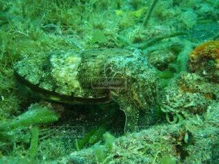 海底で擬態するコウイカの写真・画像素材[4349864]