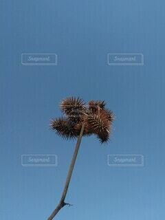 ひっつき虫のオナモミと青空の写真・画像素材[4367414]