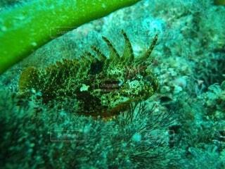鰭に毒のあるハオコゼの写真・画像素材[4379612]