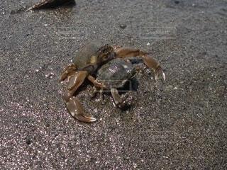 潮干狩り場に生息するマメコブシガニのペア。の写真・画像素材[4398948]