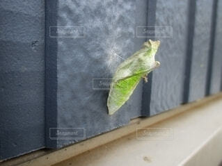 バランス良く壁に付く蝶のサナギ。の写真・画像素材[4446990]