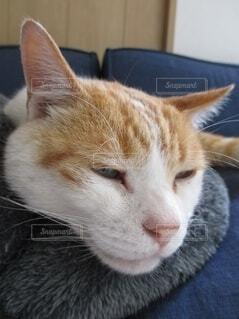 眠気 まぶたが重い愛猫。の写真・画像素材[4599269]