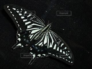 羽を休めるアゲハチョウの写真・画像素材[4655820]