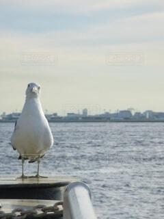 真正面。警戒する水鳥。の写真・画像素材[4712915]