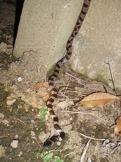 幻の蛇と言われるシロマダラ。の写真・画像素材[4818937]