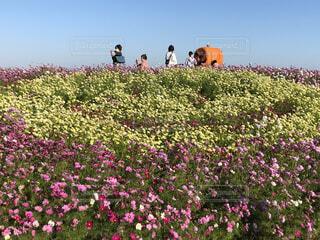 ニコちゃんマークコスモス畑の写真・画像素材[3828599]