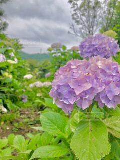 梅雨に咲く紫陽花の花の写真・画像素材[4546930]