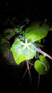 烏瓜の花の写真・画像素材[3832118]