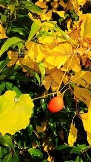 木からぶら下がっている果物のクローズアップの写真・画像素材[3924633]