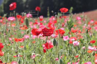 お花畑の写真・画像素材[162645]