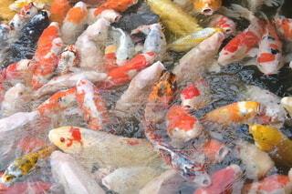 鯉の写真・画像素材[3948993]