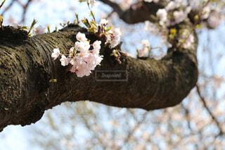 桜の木の太い枝の写真・画像素材[3835605]