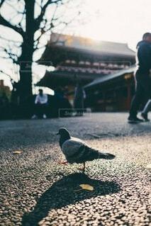 西日に照らされて歩く鳩の写真・画像素材[3841076]