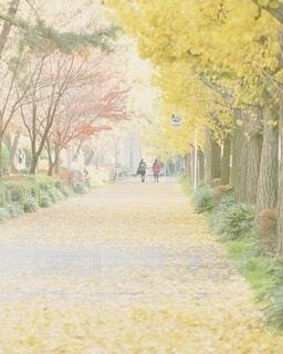 銀杏並木を散歩の写真・画像素材[3855573]