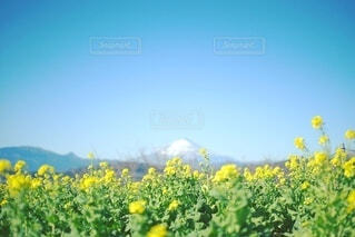 菜の花と富士山の写真・画像素材[3868342]