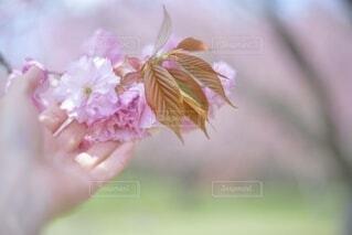 春の散歩、桜に手を添えての写真・画像素材[3868403]