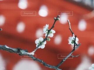 梅の花の写真・画像素材[3956576]
