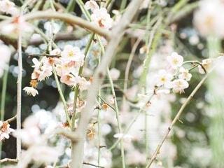 梅の花の写真・画像素材[4008381]