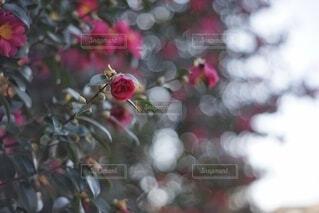 花散歩の写真・画像素材[4008386]
