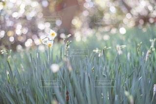 水仙の花の写真・画像素材[4008389]