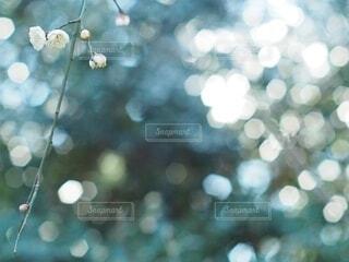 梅の花の写真・画像素材[4042535]