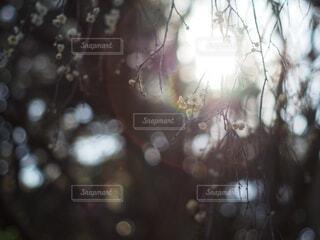 梅の花の写真・画像素材[4042536]