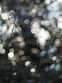 梅の花の写真・画像素材[4042537]