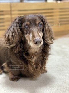 老齢のダックスフンド犬の写真・画像素材[3840497]