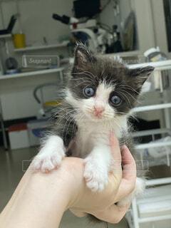 手のひらサイズの子猫の写真・画像素材[3840836]