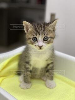 座っているキジトラの子猫の写真・画像素材[3841052]