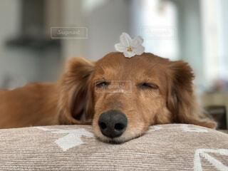 桜の花を頭に乗せて寝ている犬の写真・画像素材[4829069]