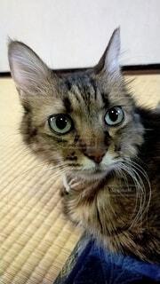 名前を呼ばれ振り向くネコの写真・画像素材[3840368]