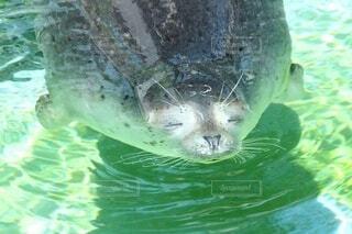 気持ち良さそうに、お昼寝するアザラシの写真・画像素材[3840886]