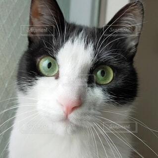美猫のアップ写真の写真・画像素材[4538317]