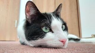 美人猫なハチワレ猫の写真・画像素材[4538321]