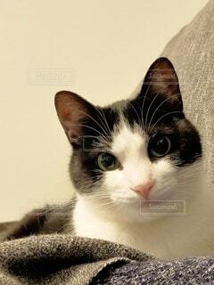 美人なハチワレ猫の写真・画像素材[4538318]