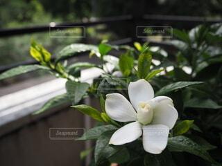 ベランダに咲いている梔子のお花の写真・画像素材[3895762]