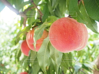 食べごろの桃の写真・画像素材[3848403]