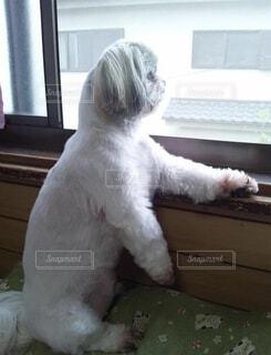 哀愁漂う犬の写真・画像素材[3863077]